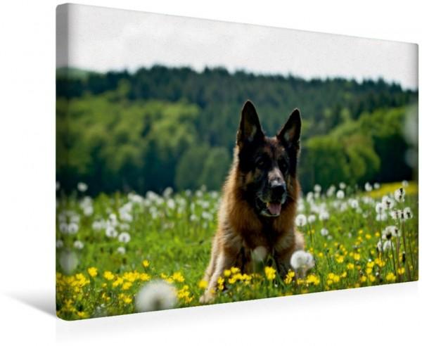 Wandbild Deutscher Schäferhund Nick im Frühling Nick im Frühling