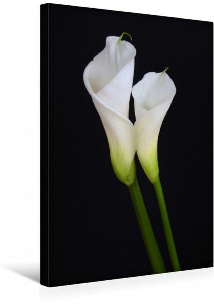 Wandbild Zwei weiße Callas vor schwarzem Hintergrund Elegante Blüten Elegante Blüten