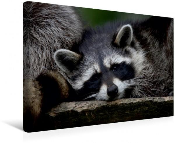 Wandbild Waschbär Heimische Tiere Heimische Tiere