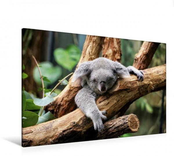 Wandbild Koala Bär auf einem Baum in Australien Koala Bär auf einem Baum in Australien Koala Bär auf einem Baum in Australien
