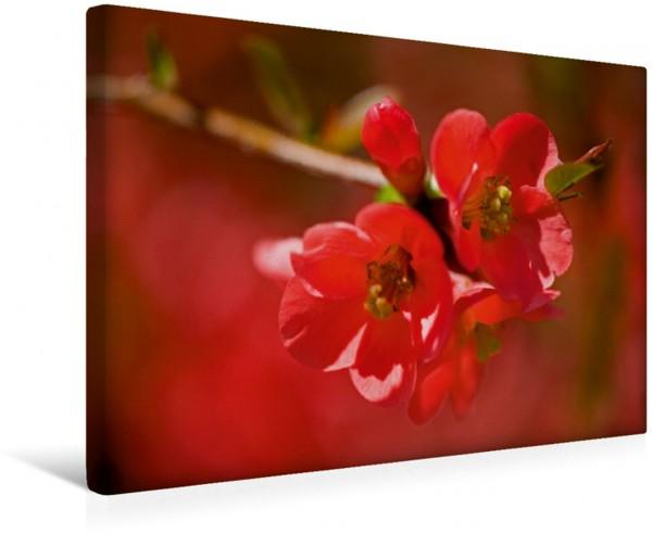 Wandbild Japanische Scheinquitte Rote Blüten. Rote Blüten.