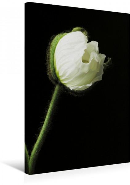 Wandbild Weiße Mohnblume vor schwarzem Hintergrund