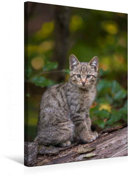 Wandbild Junge Europäische Wildkatze Porträt der scheuen Waldbewohnerin Porträt der scheuen Waldbewohnerin