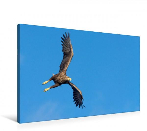 Wandbild Seeadler Manchmal steht der Seeadler beim Fliegen einer Kurve senkrecht in der Luft. Manchmal steht der Seeadler beim Fliegen einer Kurve senkrecht in der Luft.