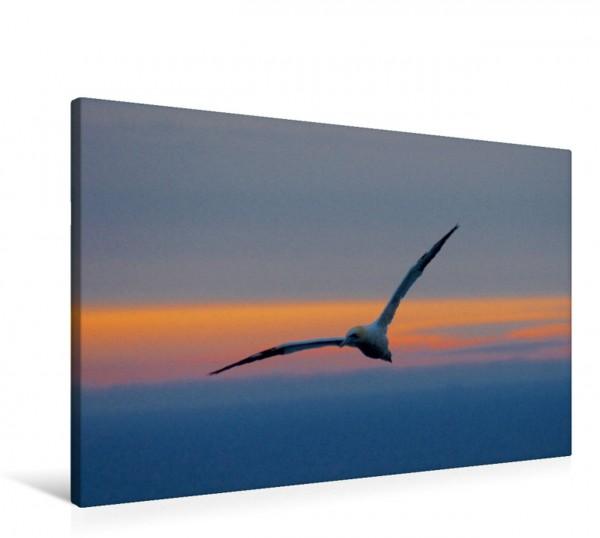 Wandbild Basstölpel im Abendrot Insel Helgoland in der Nordsee Insel Helgoland in der Nordsee