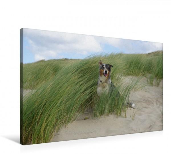 Wandbild Der Australian Shepherd ist ein guter Beobachter auch aus der Düne heraus. Der Aussie beobachtet sehr genau aus dem Strandgras in der Düne heraus was am Strand so vor sich geht. Der Aussie be