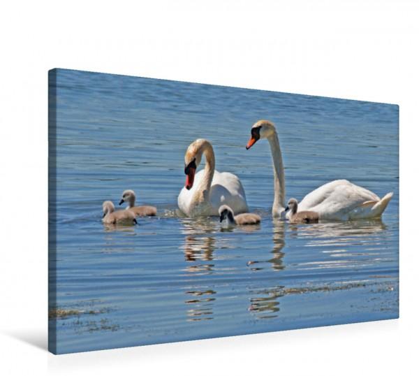Wandbild Schwanenfamilie in der Uferschutzzone bei Seebruck Der Chiemsee ist ein Paradies für Wasservögel Der Chiemsee ist ein Paradies für Wasservögel