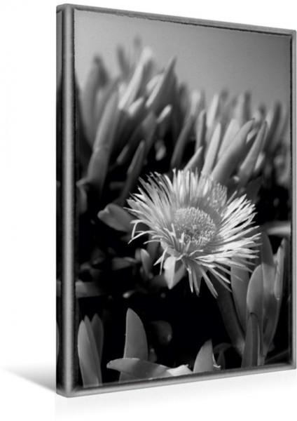 Wandbild Mittagsblume Dorotheanthus in schwarzweiss