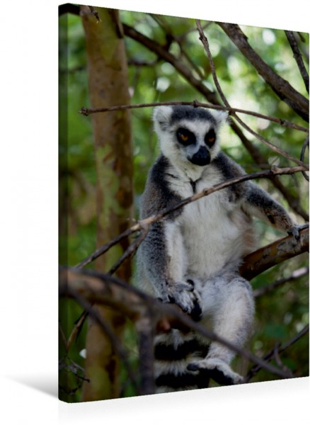 Wandbild Katta Lemur, Madagaskar