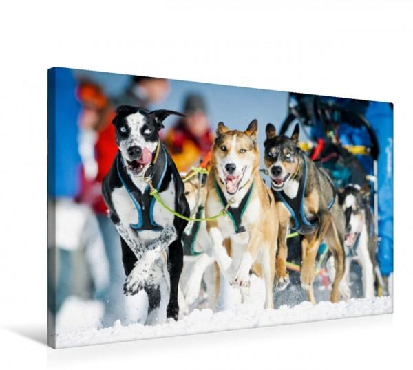 Wandbild Ein Schlittenhunde-Gespann voller Begeisterung beim Rennen Schlittenhunderennen: Rasantes Schneetreiben. Schlittenhunderennen: Rasantes Schneetreiben.