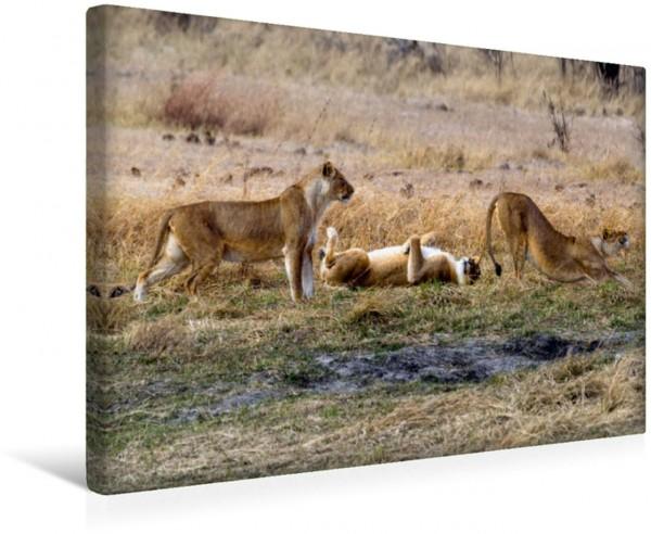 Wandbild Löwen nach der Mittagsruhe, Moremi Game Reserve