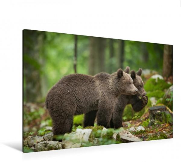 Wandbild Braunbären in Slowenien Braunbären Braunbären
