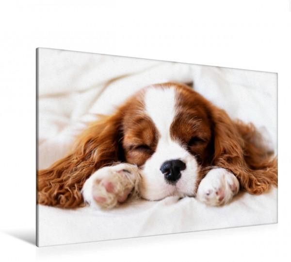 Wandbild Der Welpenkalender - Cavalier King Charles Spaniel Kleiner Cavalier Welpe schläft Kleiner Cavalier Welpe schläft