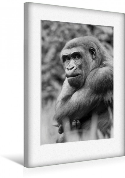 Wandbild Emotionale Momente: Gorillas in black & white CH-Version