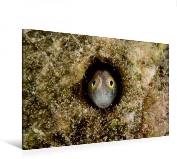 Wandbild Unterwasser-Makrofotografie Blaubauch-Schleimfisch