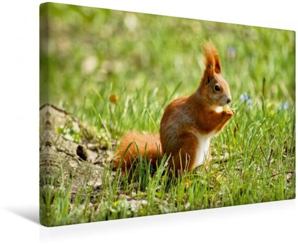 Wandbild Rotes Eichhörnchen auf der Wiese Heimische Nagetiere Heimische Nagetiere