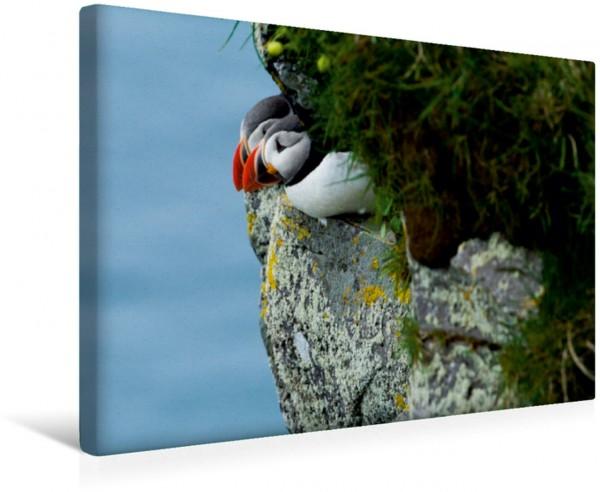 Wandbild Papageientaucher an ihrem Schlafplatz, Island