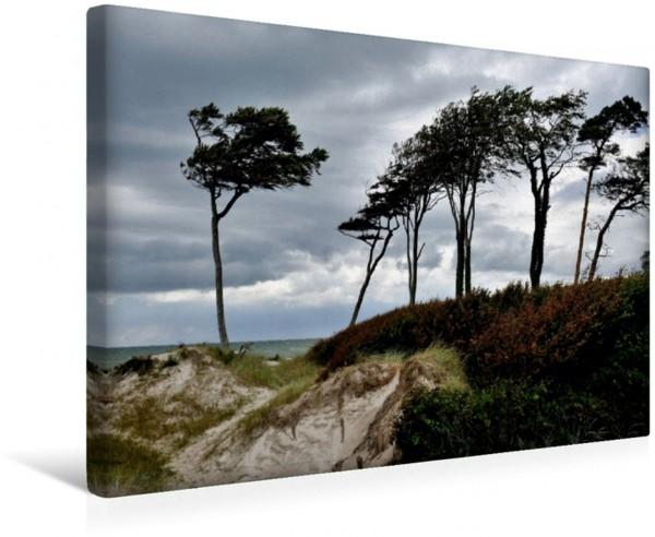 Wandbild Windflüchter beugen sich quer über den Sand Am Darßer Weststrand Am Darßer Weststrand