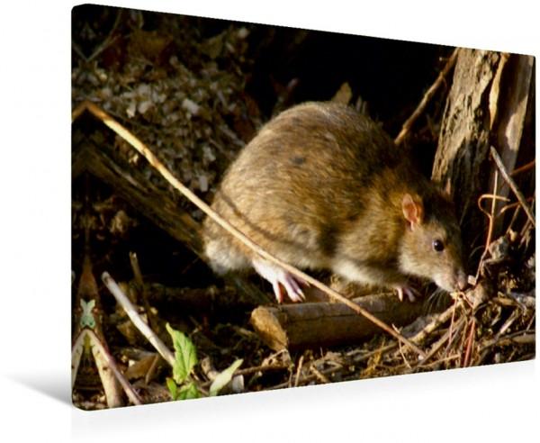 Wandbild Wanderratte Ratten und Nagetiere Ratten und Nagetiere