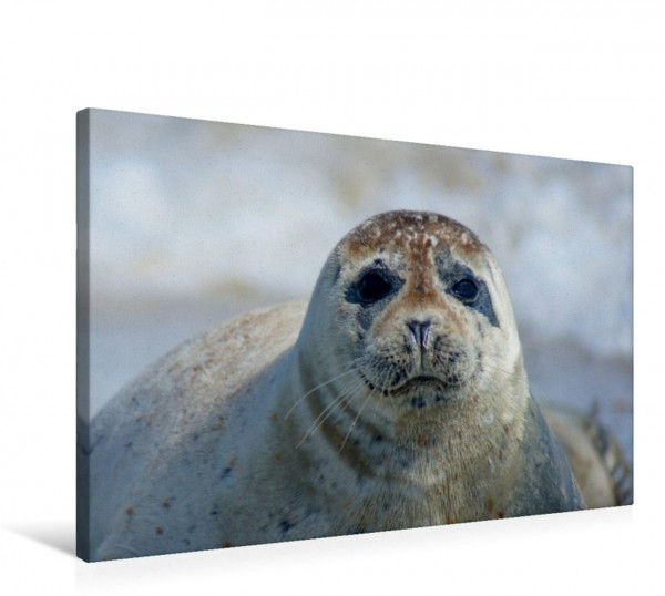 Wandbild Robben Blick Insel Helgoland Insel Helgoland