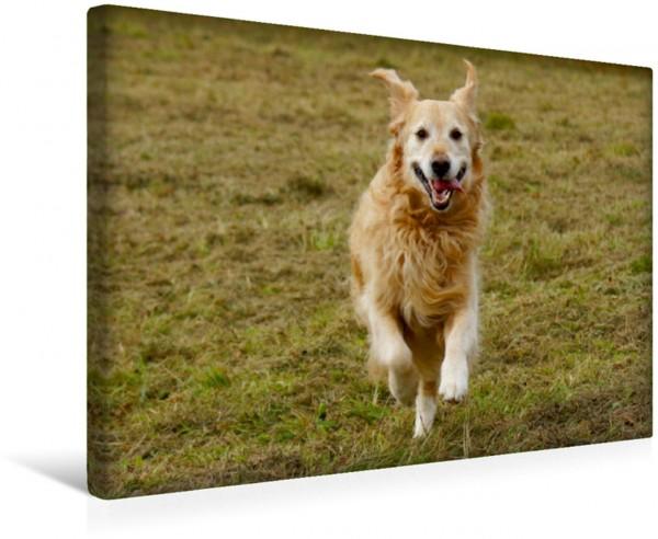 Wandbild Golden Retriever in Aktion Hunde und Haustiere Hunde und Haustiere